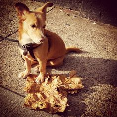 Look at the size of this leaf. I'm gonna take it home to use as a blanket! #dogsofinstagram #dogsoffishtown #dogsofphilly #rescuedogsofinstagram #adoptnotshop #adoptdontshop #fishtown #philly #philadelphia