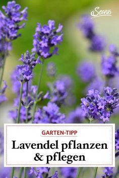 Die Duftkönigin fühlt sich nicht nur in Südfrankreich, sondern auch im Alpenraum wohl – Lavendelpflege ist ganz einfach: sie braucht nur Sonne und ein windstilles Plätzchen. #lavendel #gartenwissen #gartentipp Planting Lavender, Nursing Care
