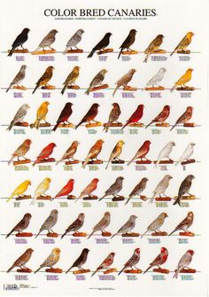Farm Animals, Cute Animals, Pet Bird Cage, Canary Birds, Albinism, Bird Aviary, Dog Lady, Animal Posters, Poster On