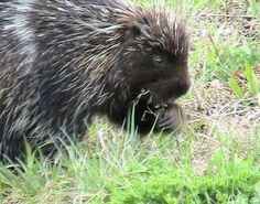 Porcupines are rodents with a coat of sharp spines, or quills, that defend and camouflage them from predators. They are indigenous to the Americas, southern Asia, and Africa. Porcupines are the third largest of the rodents, behind the capybara and the beaver. Most porcupines are about 25–36 in (64–91 cm) long, with an 8–10 in (20–25 cm) long tail. Weighing 12–35 lb (5.4–16 kg), they are rounded, large and slow. Porcupines come in various shades of brown, gray, and the unusual white.
