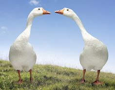 Geese .....i used to have one as a kid....his name was Japik...:-)