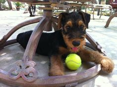 Baby Airedales - can you say play BALL???