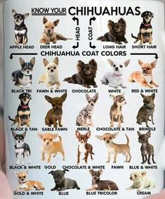 Effective Potty Training Chihuahua Consistency Is Key Ideas. Brilliant Potty Training Chihuahua Consistency Is Key Ideas. Apple Head Chihuahua, Baby Chihuahua, Long Haired Chihuahua, White Chihuahua, Types Of Chihuahua, Blue Merle Chihuahua, Chihuahua Facts, Chihuahua Terrier, Dog Names