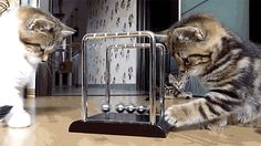 Kittens-Playing-With-Newtons-Cradle