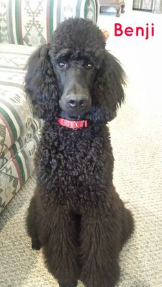 """Benji is a cool Poodle puppy dude. He's working towards his AKC Star Puppy."""