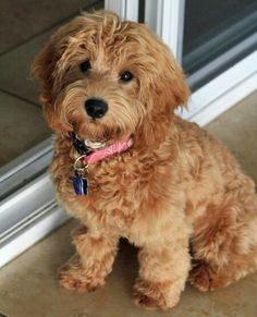 Miniature labradoodle....I could totally have one of these...make her a Chocolate!!!!