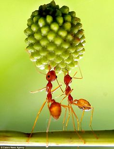 Photographer Eko Adiyanto, from West Java used a special macro technique to get up close and personal with this fascinating tiny ants.  Their balance and strength to lift this seed pods from a Mimosa, is remarkable.
