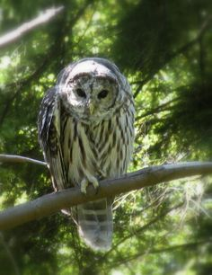 Barred Owl by Brian Chase
