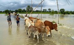 Boys and cattle wade through flood waters in a village in Nagaon on Monday 8th July. PTI Assam floods, July 2013 Posted by floodlist.com