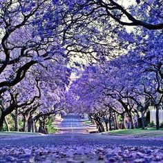 Johannesburg, South Africa - they were in bloom when we were there Out Of Africa, Beautiful Places In The World, Flowering Trees, Africa Travel, South Africa, Safari, Scenery, Places To Visit, Photos