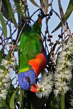 Rainbow Lorikeet: the only parrot in the world that drinks nectar instead of nuts.