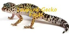 Leopard Gecko Facts #faunalicious #fauna #animal #petlovers #pet #pets #reptiles #gecko #leopardgecko #geckofacts #leopardgeckofacts #lizard Explore the great outdoors to learn everything about reptiles! Reptiles Facts, Les Reptiles, Pet Supermarket, Fauna, Pet Store, Concepts, Creatures, Pets, Boards