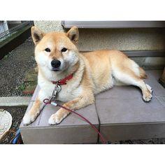 Pinを追加しました!/いってらっしゃい。今日ものんびり過ごしましょうね #お散歩楽しかったよ #お散歩後のリラックスタイムですよ #shiba #dog #komugi #柴犬 #日本犬 #赤柴 #shibainu #しばわんこ #柴犬大好き #わんこ #狗 #doge #shibe #shibastagram