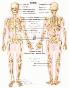 Anatomy of skeletal system Human Anatomy Female, Human Anatomy Picture, Human Anatomy Chart, Human Skeleton Anatomy, Human Anatomy And Physiology, Skeleton Muscles, Male Skeleton, Axial Skeleton, Skeleton Model