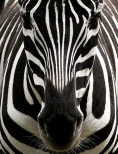 black and white photography - animal - safari - zebra - black and white - stripes - africa -