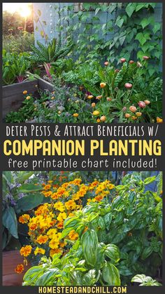 Curious about companion planting? Come dig in to learn what companion planting is, tips to get started, and how it can benefit your garden by attracting beneficial insects and pollinators, deterring pests, increasing biodiversity, and more! A free printable companion planting chart is also included! Gardening For Beginners, Gardening Tips, Container Gardening, Squash Companion Plants, Garden Plants, Shade Garden, Planting A Garden, Planting Plants, Organic Gardening