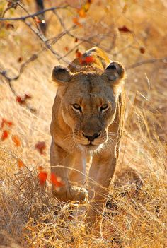 """""""The Lioness """" Beautiful Cats, Animals Beautiful, Cute Animals, Lioness And Cubs, Lion Africa, Lions Photos, Lion Love, Carnivore, Power Animal"""