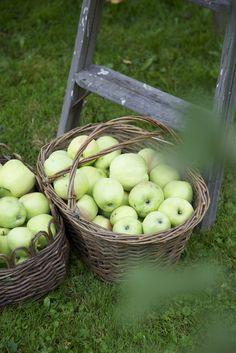 ᘡ.<3.ᘠ Cueillir et ramasser des pommes du jardin...