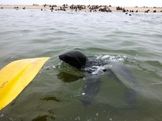 kayaking with the seal in Namibia