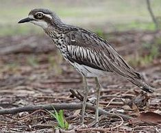 Bush Stone-curlew -- If Bush Stone-curlews are nearby you may hear their eerie, high-pitched wailing at night. This ghost-like call is their contact call, and may be given by several birds in a chorus. Rendered as weer-lo, it is repeated four or five times, sometimes culminating in a trilled, screeching crescendo. Sea Birds, Wild Birds, What Is A Bird, Cairns Australia, Native Australians, Australia Animals, Australian Birds, Funny Birds, Aussies