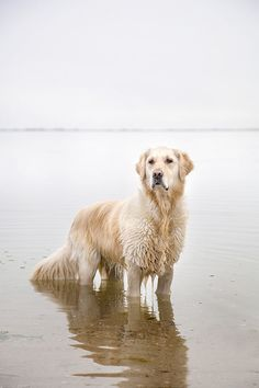 Emma the Golden Retriever (photo credit: Howie Guja)