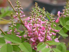 50 Seeds Indigofera tinctoria  True indigo Seeds by seedking