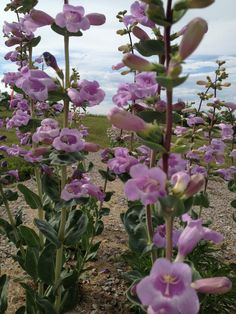 Got sand or gravel? Well aren't you the lucky one. You can grow Beardtongue (Penstemon grandiflorus). Here it is alll pretty in pink in Wildflower Farm rock garden