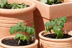 Growing Tomatoes Tips How to Grow Tomatoes in a Pot - Get your container tomato garden off to the right start by using the best pots, planting media and care practices to produce plenty of healthy tomato fruits. Tips For Growing Tomatoes, Growing Tomato Plants, Grow Tomatoes, Baby Tomatoes, Dried Tomatoes, Cherry Tomatoes, Small Backyard Gardens, Backyard Garden Design, Modern Backyard