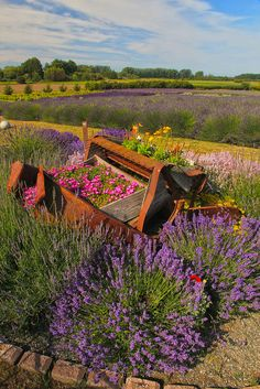 Sequim Lavender Festival - Olympic Peninsula, Washington