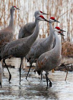 Sandhill cranes - what beautiful birds Kinds Of Birds, All Birds, Love Birds, Pretty Birds, Beautiful Birds, Animals Beautiful, Beautiful Pictures, Exotic Birds, Colorful Birds