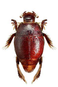 Ctenophilothis altus