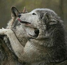 🐺If you Love Wolves, You Must Check The Link In Our Bio 🔥 Exclusive Wolf Related Products on Sale for a Limited Time Only! Tag a Wolf Lover! 📷: Please DM . No copyright infringement intended. All credit to the creators. Wolf Photos, Wolf Pictures, Animal Pictures, Animals And Pets, Funny Animals, Cute Animals, Wild Animals, Baby Animals, Beautiful Creatures