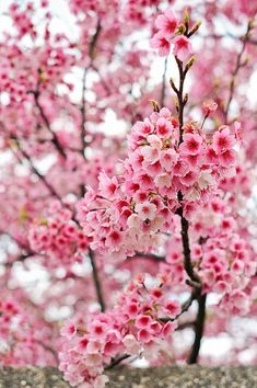 Life is short, you have to live like the cherry, blossom brilliant, beautiful and pure. Pastel Flowers, Flowers Nature, Beautiful Flowers, Mint Green Wallpaper Iphone, Iphone Wallpaper, Cherry Blossom Tree, Blossom Trees, My Flower, Flower Power