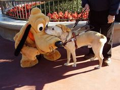 A guide dog meeting Pluto at Disneyland