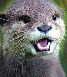 Otter - Our Otter Friends - Animals And Pets, Baby Animals, Funny Animals, Cute Animals, Baby Giraffes, Wild Animals, Otters Cute, Baby Otters, River Otter