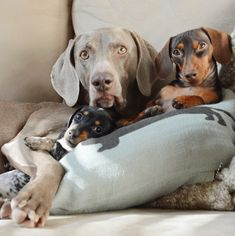 New Puppy Joins in Adorable Duo Harlow and Indiana's Daily Cuddles - My Modern Met