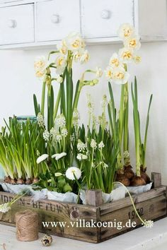 Spring Bulbs in a vintage box
