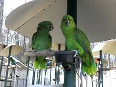 Two charmingly chatty Amazon Parrots have a very lively conversation with each other in front of onlookers at Parrot Mountain and Gardens, an interactive bird sanctuary in Sevierville, Tennessee ne...
