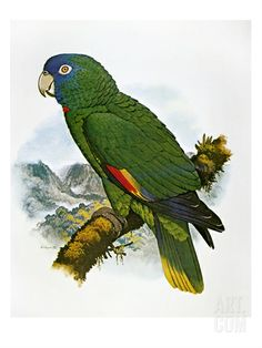 Red-Necked Amazon Parrot  by William T. Cooper