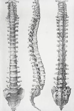 Human Figure Drawing Photographic Print: Spine Anatomy by Sheila Terry : - Human Spine, Human Body, Anatomy Reference, Art Reference, Spine Drawing, Anatomy Tattoo, Skeleton Drawings, Eye Drawings, Human Anatomy Drawing