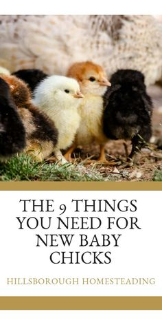 There's nothing cuter or funnier than new baby chicks. I've put together a list of what you'll need BEFORE you bring baby chicks home. Raising Backyard Chickens, Baby Chickens, Keeping Chickens, Heritage Chicken Breeds, Heritage Chickens, Building A Chicken Coop, Diy Chicken Coop, Chicken Incubator, Homestead Survival
