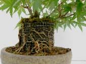 2. Trunk - A Guide to Bonsai Basics : Bonsai Style, Secret of Shaping