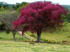 árvore sapucaia - Pesquisa Google