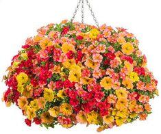 100pcs hanging petunia seeds melissa original flower seeds perennial flowers for home garden bonsai pot planting petunia