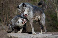 Timberwolf | by Tierfotografie Niklas Mattern