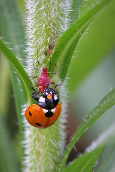 Because ladybugs are little badass protectors of the garden