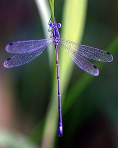 Gorgeous purple Dragonfly