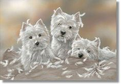 west highland terriers playing as usual