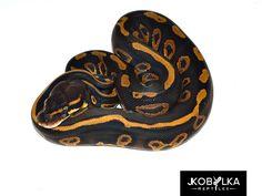 Leopard Mahogany - Morph List - World of Ball Pythons