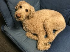 How is he just so cute? Oliver the standard poodle.